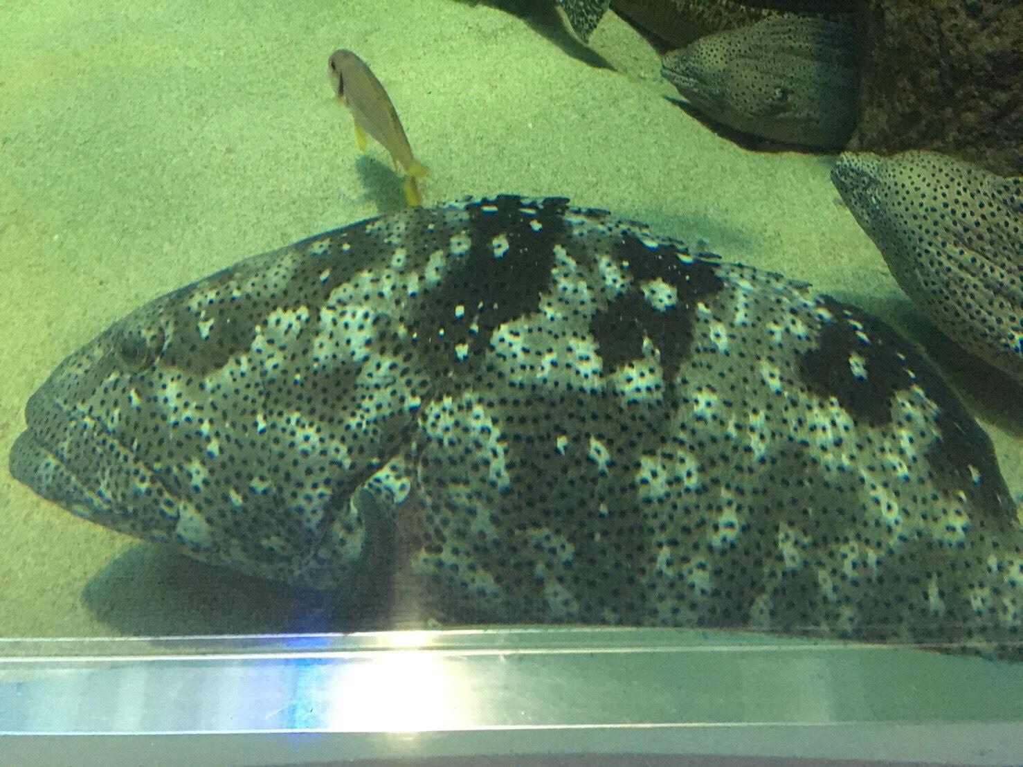 ヤイトハタ、宮島水族館